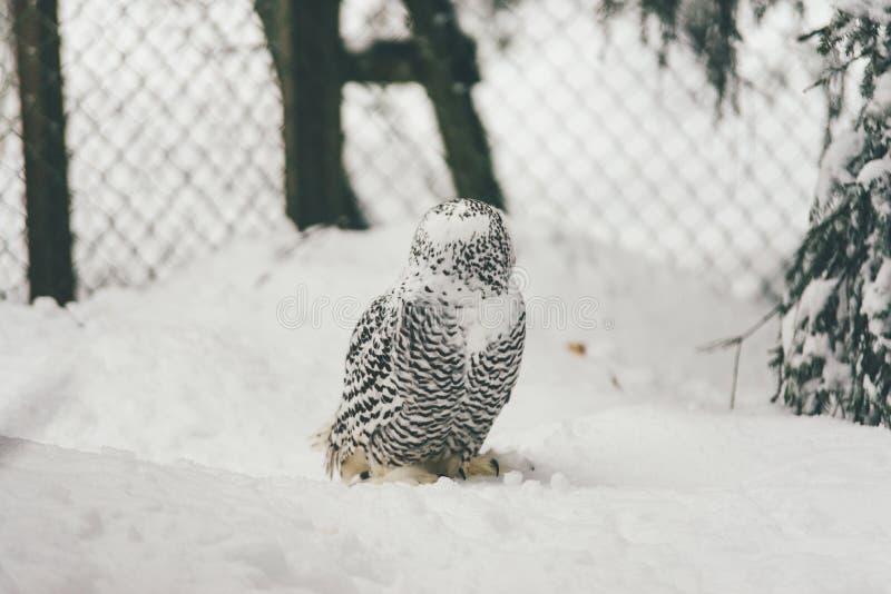 Wilde Eule im Schneewald stockfotografie
