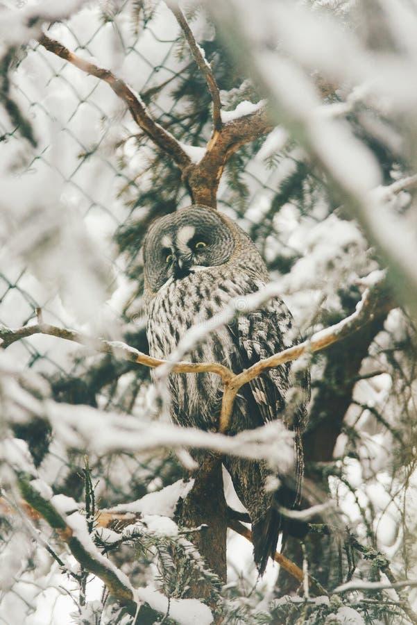 Wilde Eule im Schneewald lizenzfreie stockbilder