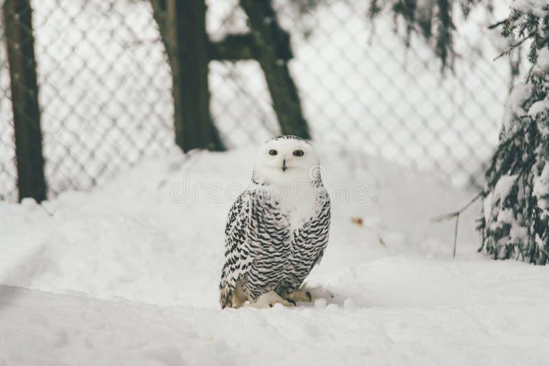 Wilde Eule im Schneewald stockfotos