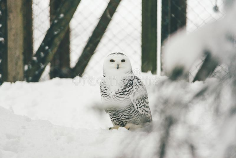 Wilde Eule im Schneewald lizenzfreie stockfotos