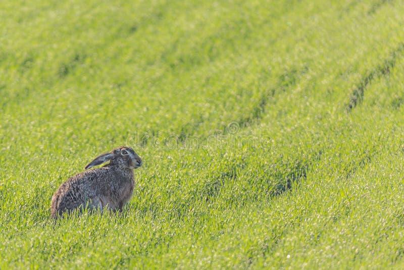 Wilde Europese hazenzitting in groene grasweide Lepuseuropaeus stock foto