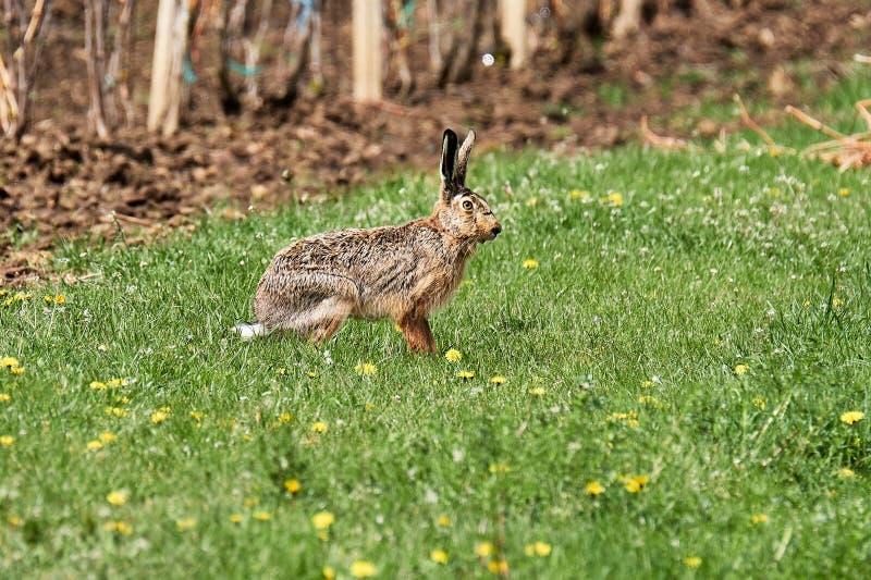Wilde Europese hazenzitting in het groene gras onder de eenzame zon royalty-vrije stock afbeeldingen