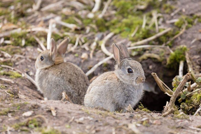 Wilde Europese konijnen stock fotografie