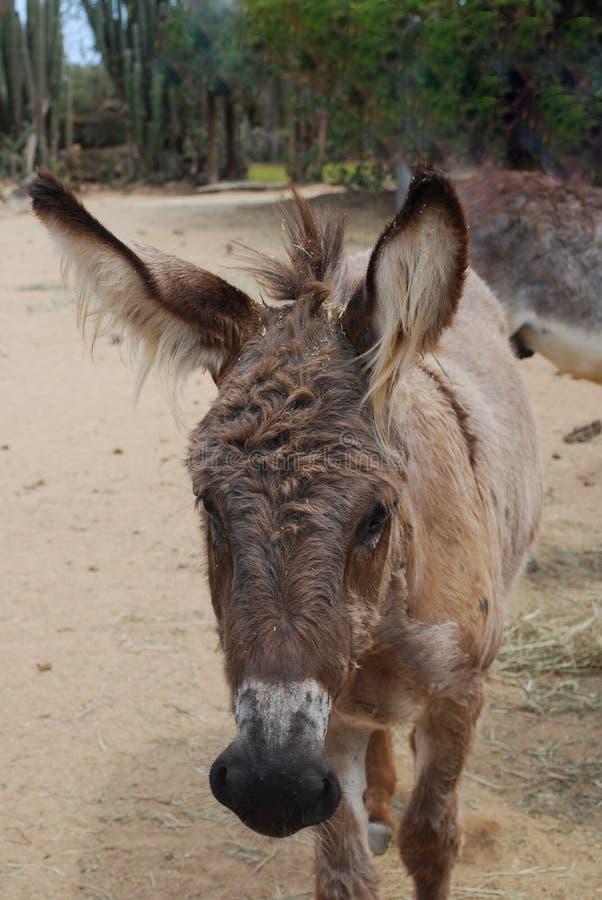 Wilde Ezel met zeer Shaggy Ears royalty-vrije stock afbeelding