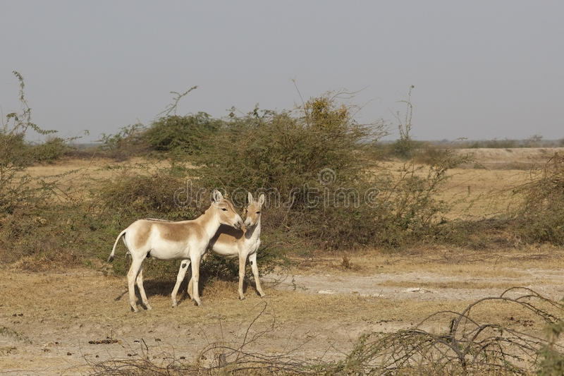 Wilde ezels royalty-vrije stock afbeelding