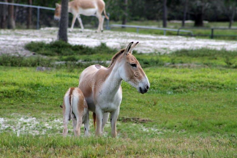 Wilde ezels stock afbeelding