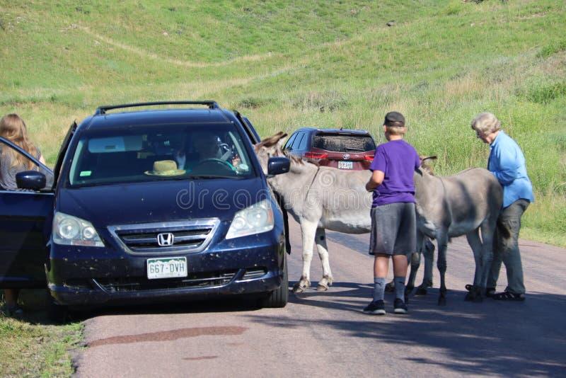 Wilde ezels en paarden in Custer-het park van de staat in Zuid-Dakota stock foto