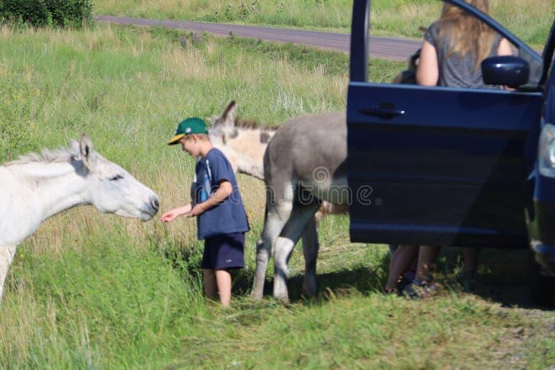 Wilde ezels en paarden in Custer-het park van de staat in Zuid-Dakota stock afbeeldingen