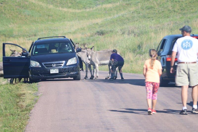 Wilde ezels en paarden in Custer-het park van de staat in Zuid-Dakota royalty-vrije stock afbeelding
