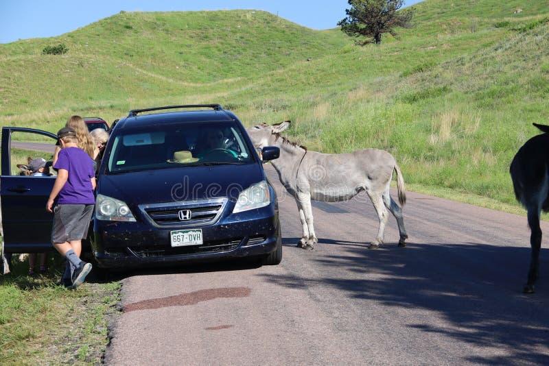 Wilde ezels en paarden in Custer-het park van de staat in Zuid-Dakota stock afbeelding