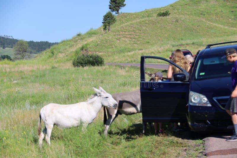 Wilde ezels en paarden in Custer-het park van de staat in Zuid-Dakota royalty-vrije stock fotografie