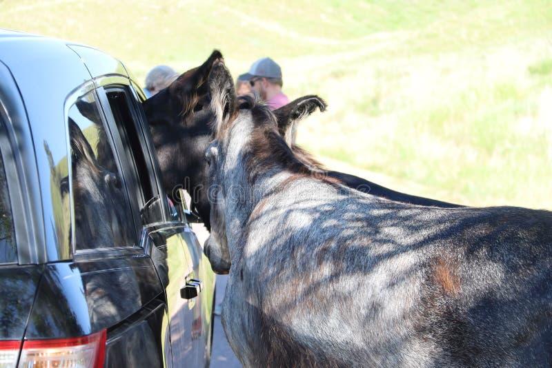 Wilde ezels en paarden in Custer-het park van de staat in Zuid-Dakota royalty-vrije stock foto's