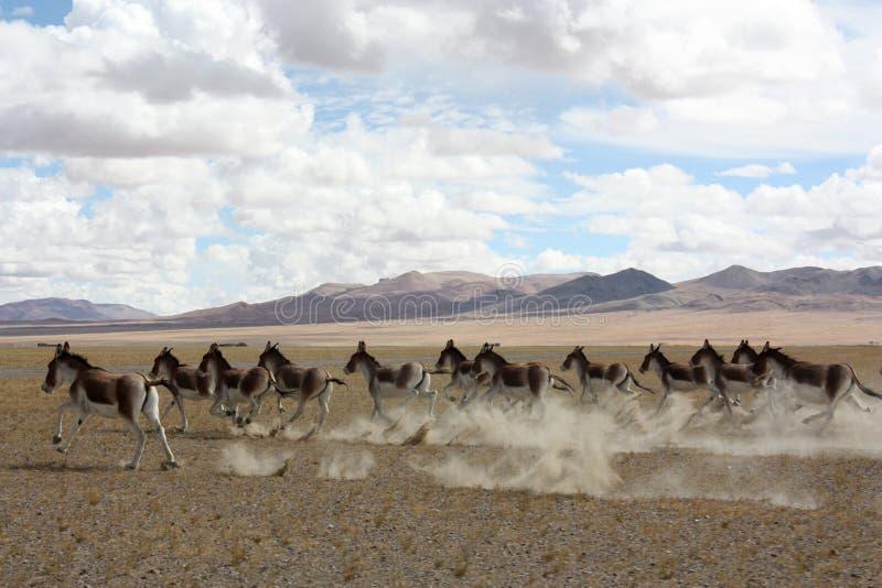Wilde ezels in lijn stock afbeelding