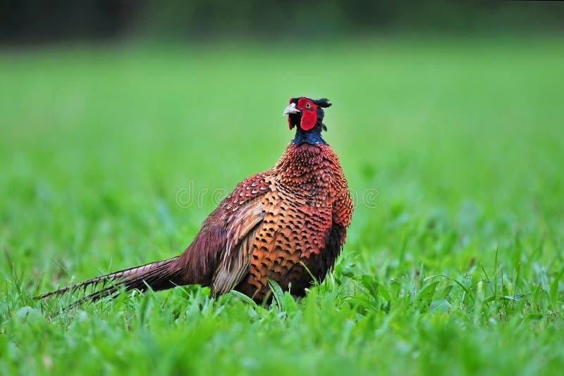 wilde fazant stock afbeeldingen