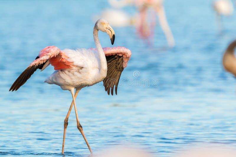Wilde flamingo's in Frankrijk stock afbeeldingen