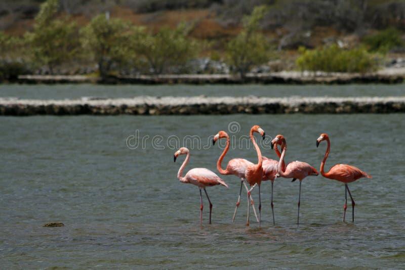 Wilde Flamingos in Curaçao lizenzfreies stockbild