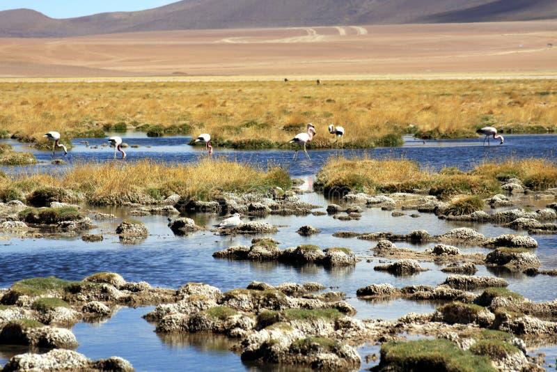 Wilde Flamingos am See mit steinigem Seeufer und trockenem Gras und an unscharfer Wüste im Hintergrund - Atacama-Wüste, Chile lizenzfreies stockbild