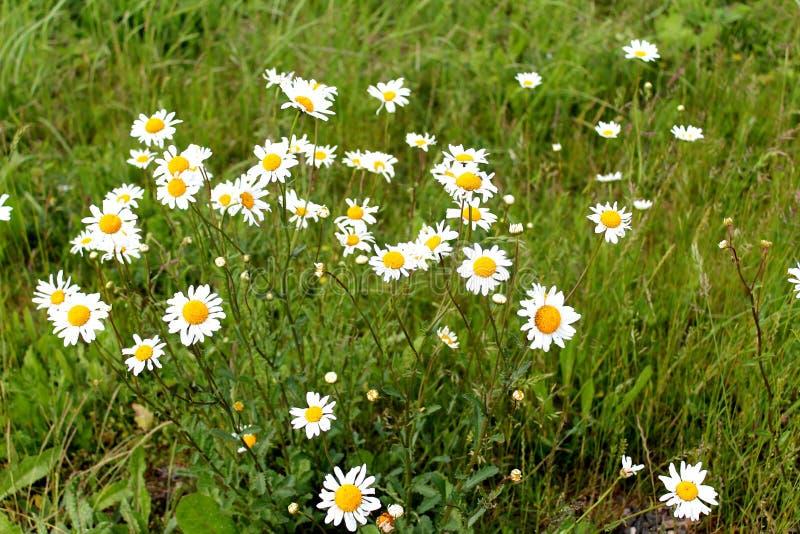 Wilde Gänseblümchen auf dem Blumengebiet und Wiese in England im Sommer stockfotografie