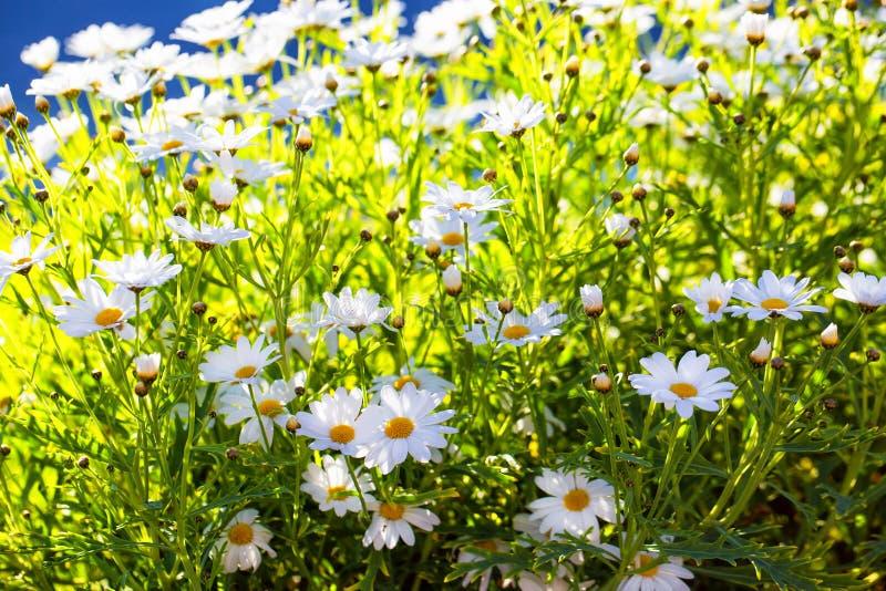 Wilde Gänseblümchen in der Sonne lizenzfreies stockbild