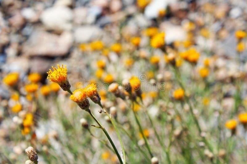 Wilde Gänseblümchen im Saguaro-Nationalpark stockfotografie