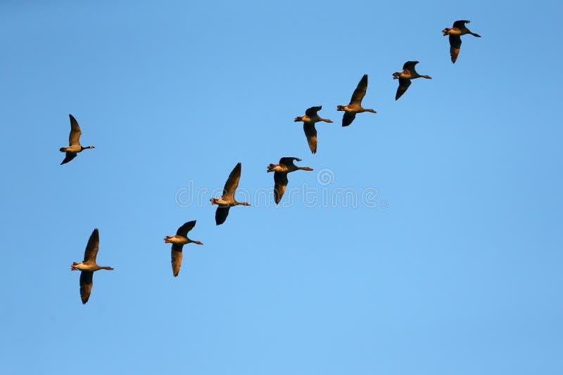Wilde gansmigratie in de herfst stock fotografie