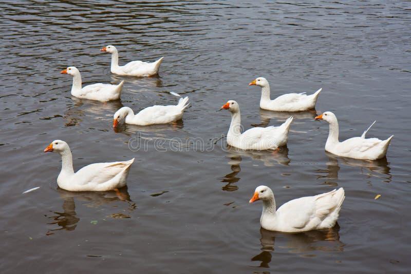 Wilde ganzen die in een meer zwemmen royalty-vrije stock foto