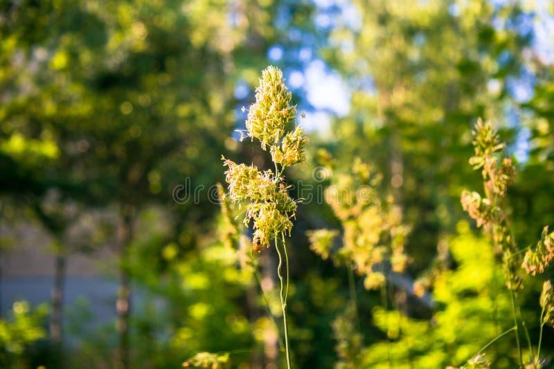 Wilde gebiedsgrassen bij dageraad op een warme Sunny June-ochtend stock afbeelding