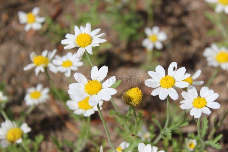 Wilde gebiedsmadeliefjes in de weide Natuurlijke bloemenachtergrond royalty-vrije stock afbeeldingen