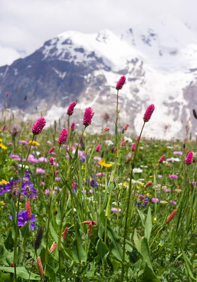 Download Wilde Gebirgsblumen stockbild. Bild von bauernhof, kaukasus - 27725879