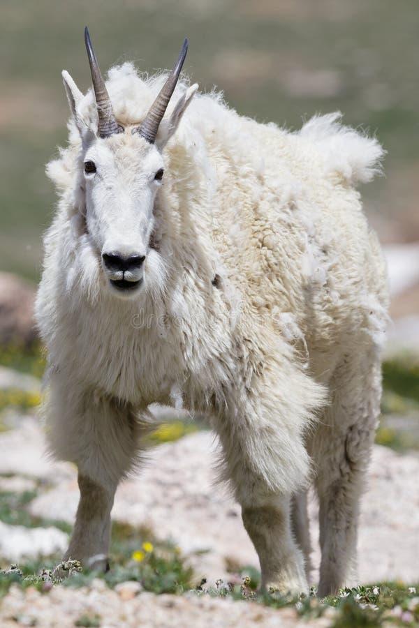 Wilde Gebirgsziegen des Colorados Rocky Mountains stockfoto