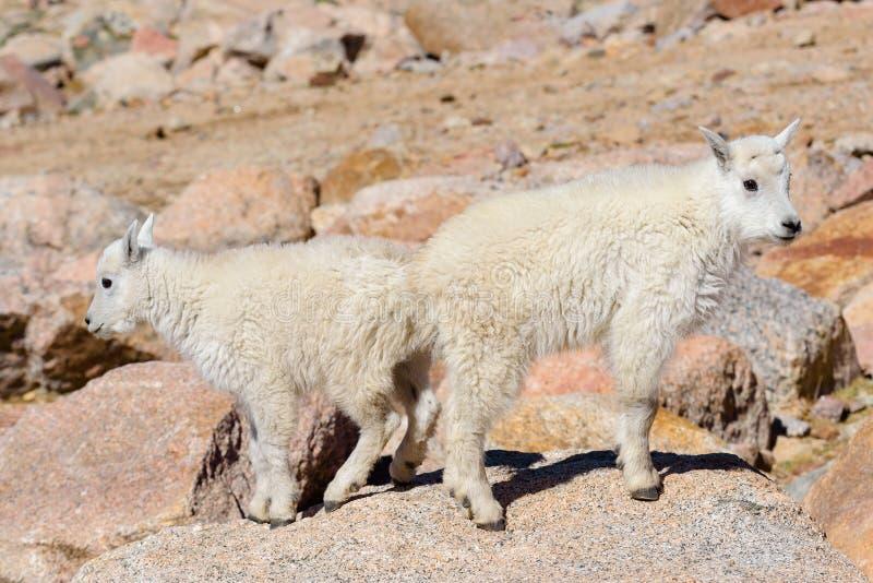Wilde Gebirgsziegen des Colorados Rocky Mountains Zwei Gebirgsziegen-Kinder auf einem Felsen lizenzfreie stockfotos