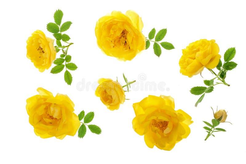 Wilde geel nam bloeiende die bloem op een witte achtergrond wordt geïsoleerd toe Hoogste mening Vlak leg patroon royalty-vrije stock afbeeldingen