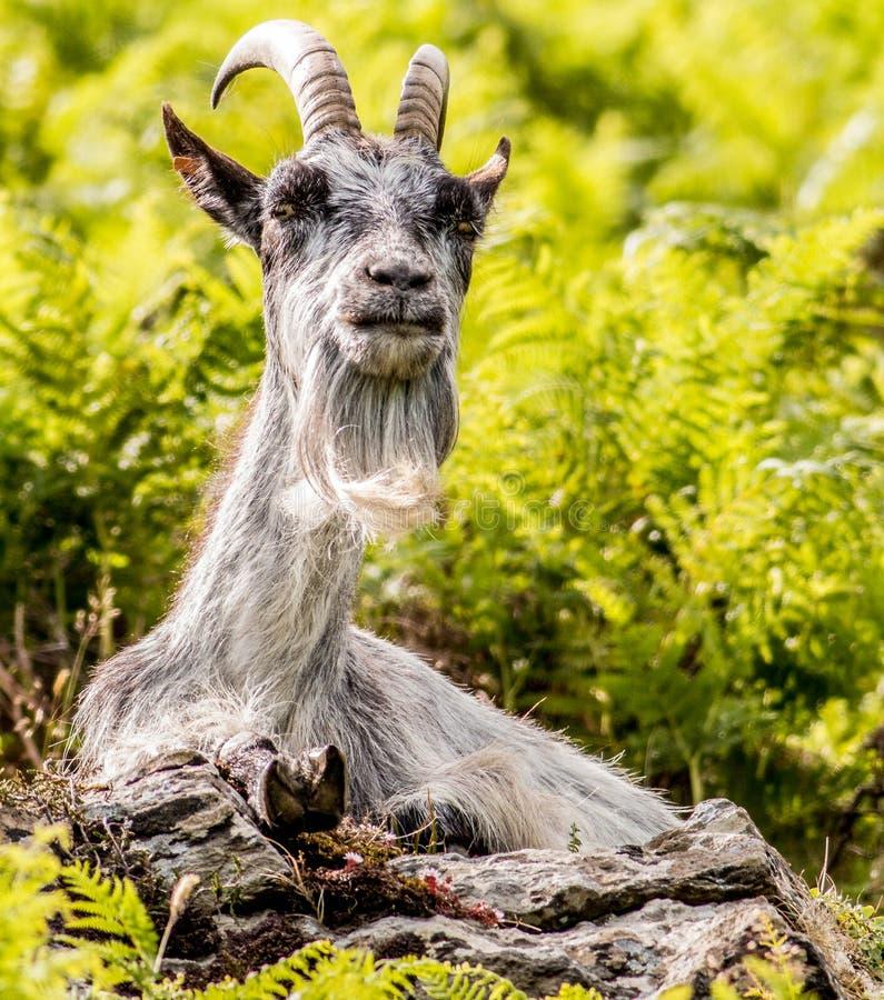 Wilde geit stock afbeelding