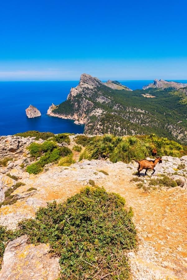 Wilde Geiten bij het Formentor-Schiereiland in Mallorca Spanje royalty-vrije stock afbeeldingen