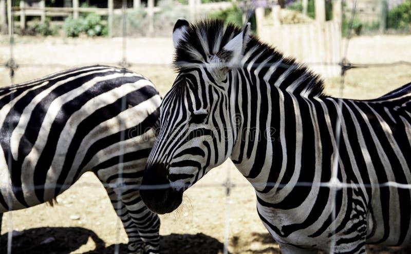 Wilde gekooide Zebra royalty-vrije stock foto's