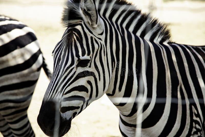 Wilde gekooide Zebra stock fotografie