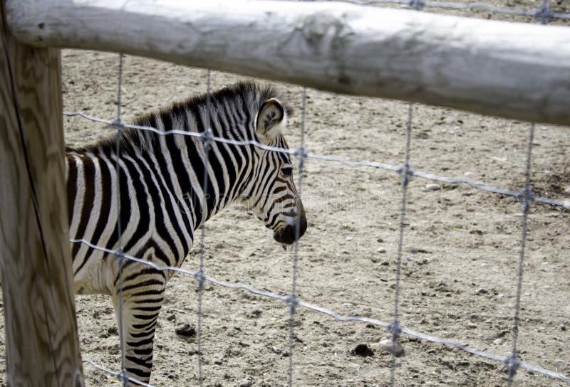 Wilde gekooide Zebra stock afbeeldingen