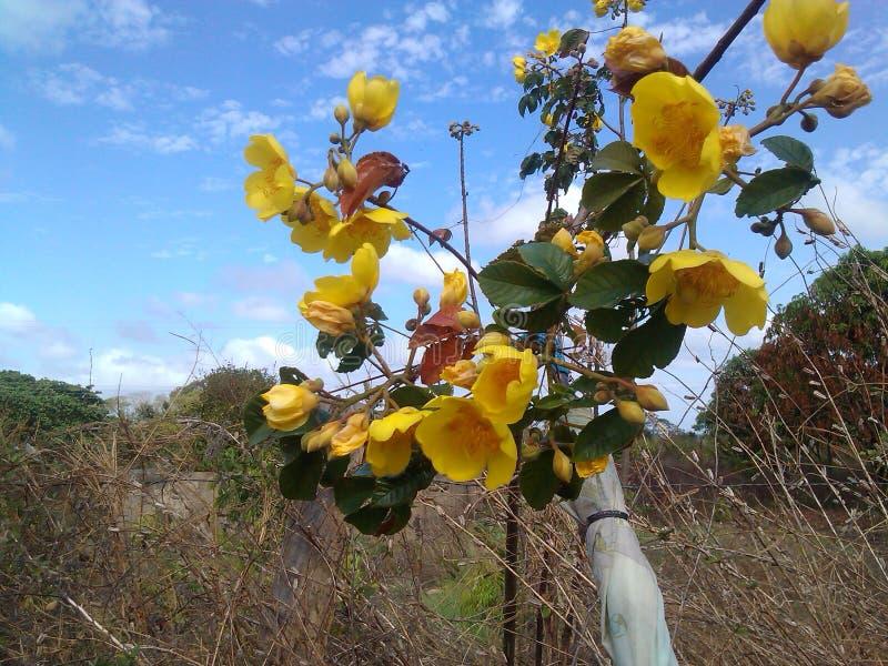 wilde gelbe Baumwollblume stockfotos