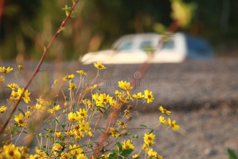 Wilde gelbe Blume und ein unscharfes Auto stockbilder