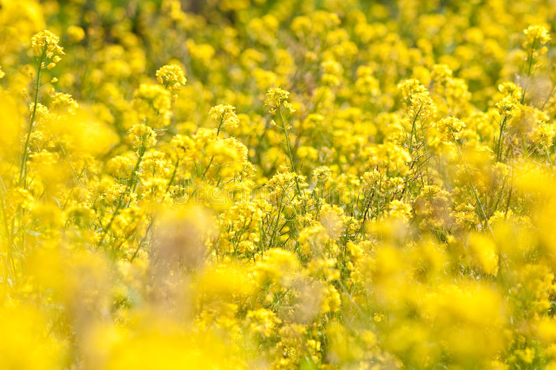 Wilde gelbe Blumen stockfoto