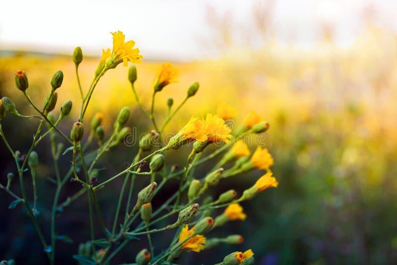 Wilde gele bloem royalty-vrije stock afbeelding