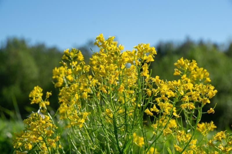 Wilde gele bloemen die op een gebied in het platteland op een zonnige de lentedag tegen de blauwe hemel groeien stock fotografie