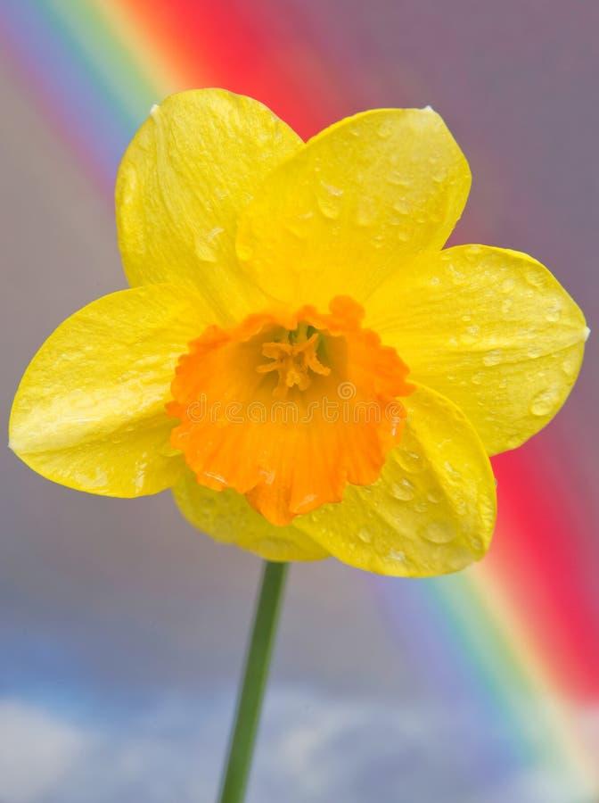 Wilde Gele narcis en regenboog. stock afbeelding