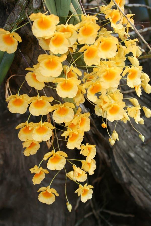 Wilde gele orchideebloemen royalty-vrije stock afbeeldingen