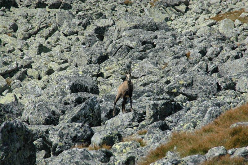 Wilde gemzen op een rots royalty-vrije stock fotografie