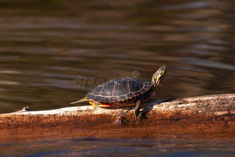 Wilde Geschilderde Schildpad die zont op Logboek stock afbeeldingen