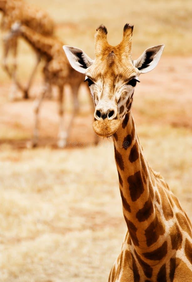 Wilde Giraffe stockfotografie
