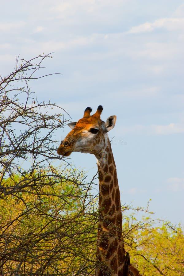 Wilde Giraffe Stockbild