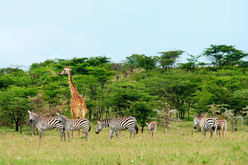 Wilde Giraffen in de savanne royalty-vrije stock foto's