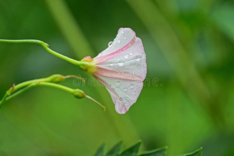 wilde Glockenblumenknospe auf einem grünen Stiel in der Natur stockfotografie